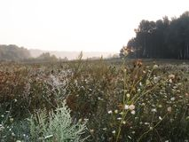 Summer morning in the village. Reeds, trees in the background. Flowering herbs Stock Image