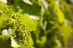 Summer morning on a vineyard in the Czech Republic. Vine growing. Royalty Free Stock Images