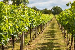 Summer morning on a vineyard in the Czech Republic. Vine growing. Stock Photo