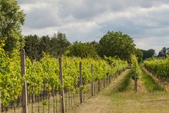 Summer morning on a vineyard in the Czech Republic. Vine growing. Stock Photography