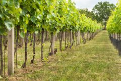 Summer morning on a vineyard in the Czech Republic. Vine growing. Stock Image