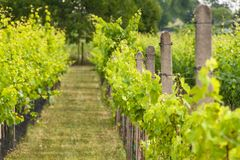 Summer morning on a vineyard in the Czech Republic. Vine growing. Royalty Free Stock Photo