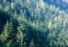 Summer mountain fir in sun rays landscape Royalty Free Stock Photos