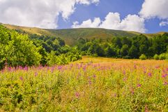 Summer mountain landscape with flowers willow-herb in the foreground stock images