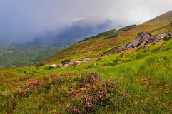 Summer mountain landscape with pink rhododendron flowers and clouds of fog royalty free stock photography