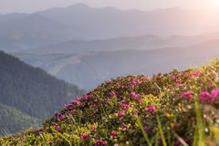 Summer mountain ridge landscape with blooming pink flowers royalty free stock photography