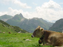 Summer in the mountains. Cow sitting on a meadow Royalty Free Stock Photography