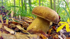 Summer mushroom in the forest. White big mushroom in the summer forest, nature Stock Image