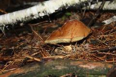 Summer mushroom. Mushroom picking. macroshot Mushrooms. Mushroom Forest Stock Image