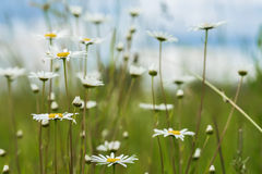 Summer natural background, ecology, green planet concept: Beautiful blooming wild flowers of white camomiles against Stock Photography