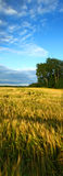 Summer nature. Beautiful summer nature landscape with blue sky and grain stock photography