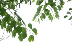 Summer nature asian cherry blossom leaf Stock Photo