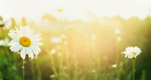 Summer nature background with daises and sunlight, banner Royalty Free Stock Photo