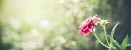 Summer nature background with pink flower at bokeh . Flowers garden template. Or banner Stock Photo