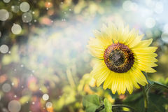 Summer nature background with yellow sunflower in garden or park , close up Stock Photos