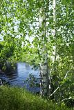 Summer nature. Birches by the river stock photos