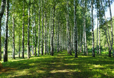 Summer nature,   Birches Royalty Free Stock Image