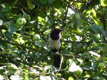 A bird of forty is sitting on a branch of an apple tree stock image