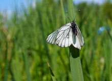 Summer nature, butterfly Large White Royalty Free Stock Images