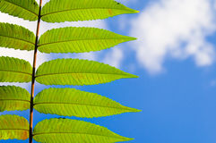 Summer nature leaves. Summer nature, fresh green leaves against summer blue sky, foliage of vinegar tree   ( Rhus Typhina ) with copy space Stock Images