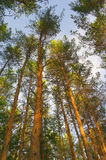 Summer nature with pines Stock Photography