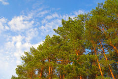 Summer nature with pines Stock Photo