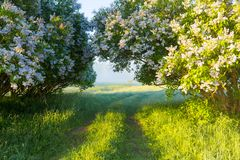 Summer nature. Vivid sunny morning. Flowering lilac bushes early Royalty Free Stock Images