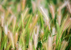 Summer nature wheat grass field landscapes rural. Wheat in the field. Will ripen soon Stock Photo