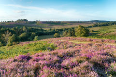 New Forest Heather. Summer in the New Forest national park at Rockford Common near Ibsley in Hampshire stock photo