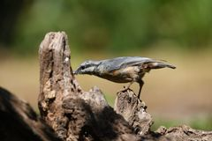 Nuthatch on a tree trunk royalty free stock photography