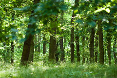 Summer oak forest. With grass and trees Royalty Free Stock Image