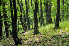 Summer oak forest Stock Images