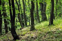 Summer oak forest Stock Images