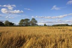 Summer oat field Royalty Free Stock Photo