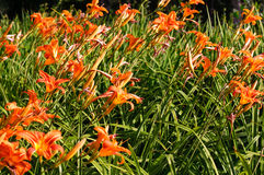Summer orange daylily in blossom. Summer orange lilly (Hemerocallis) in blossom Royalty Free Stock Images