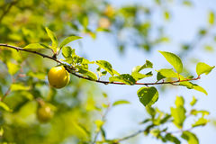 Summer orchard Royalty Free Stock Photos