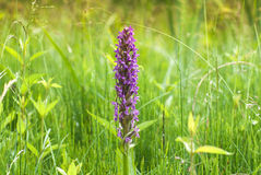 Summer orchis. A beautiful summer orchis on the swamp Royalty Free Stock Photos
