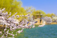 The summer palace in beijing spring peach Royalty Free Stock Images