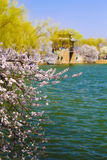 The summer palace in beijing spring peach Stock Photography