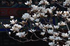 Summer Palace Magnolia Flower Stock Photography