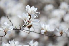 Summer Palace Magnolia Flower Stock Photos