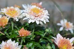 Pale pink and yellow Chrysanthemums or mums growing outside in a flowerbed in late autumn. Summer. Pale pink and yellow Chrysanthemums or mums growing outside in Royalty Free Stock Photos
