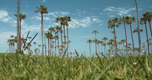 Summer Palm Trees & Green Grass, Venice Beach California. A low angle shot of palm trees and grass by the California coast, Venice Beach California stock video