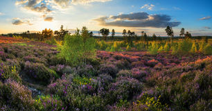 Summer panorama landscape over meadow of purple heather during s Stock Image