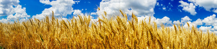 Summer panorama of ripe wheat. Stock Photo