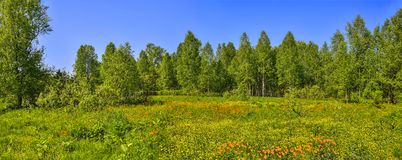 Panoramic view of summer landscape with blossoming forest glade Stock Photos