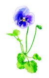 Summer pansy Stock Photos