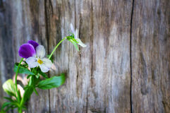 Summer pansy flowers on wooden background Royalty Free Stock Photo