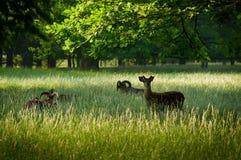 Summer park with moufflons Stock Photos