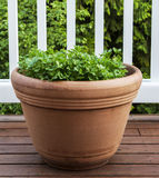 Summer Parsley on Deck Royalty Free Stock Image